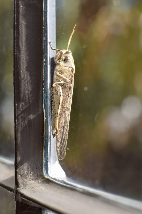San Antonio - grasshopper