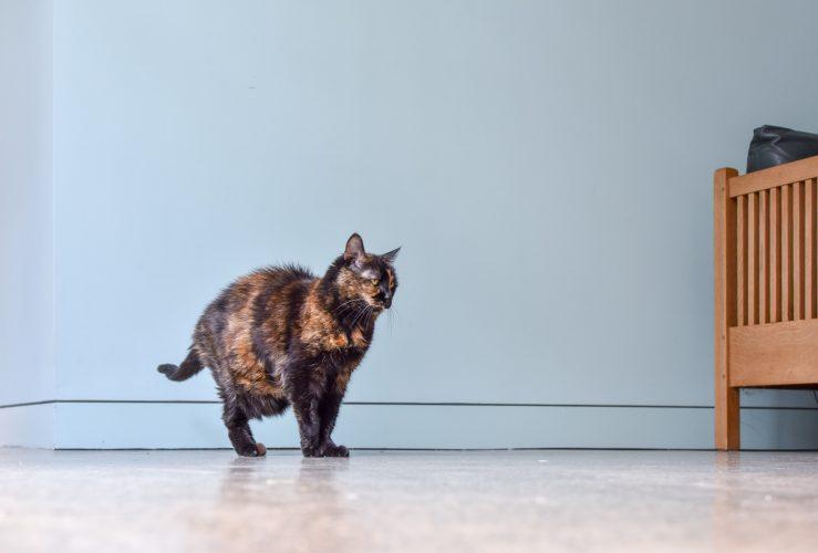 San Antonio - cat